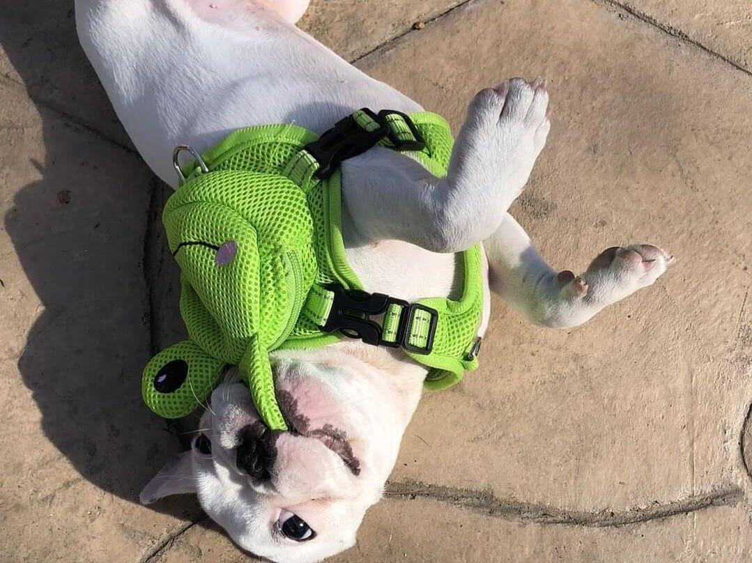 BATPIG Backpack Harness Froggy Dog Customer Photo 1