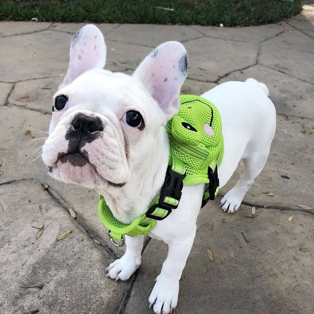 BATPIG Backpack Harness Froggy Dog Customer Photo 2