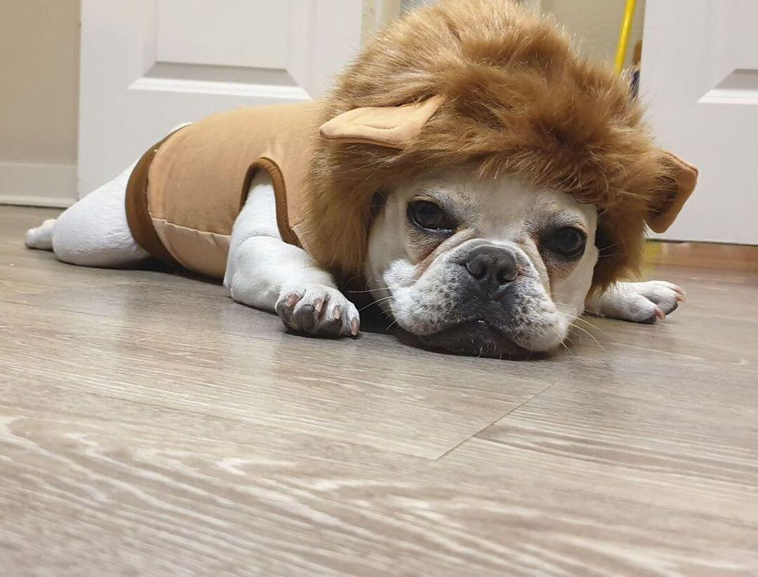 BATPIG Pet Supply Lion Hoodie Customer Photo 2