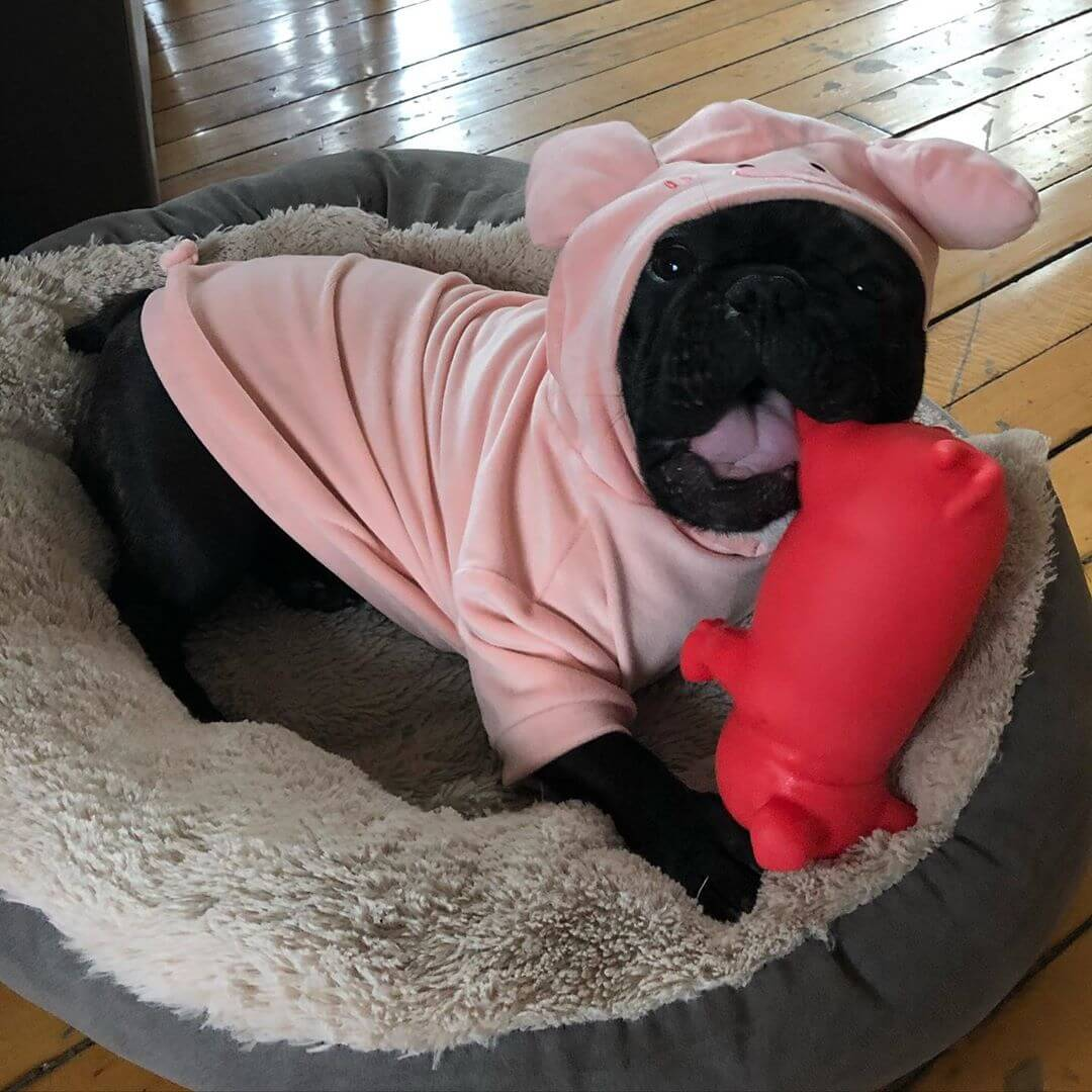 BATPIG Pet Supply Piggy Hoodie Customer Photo 3