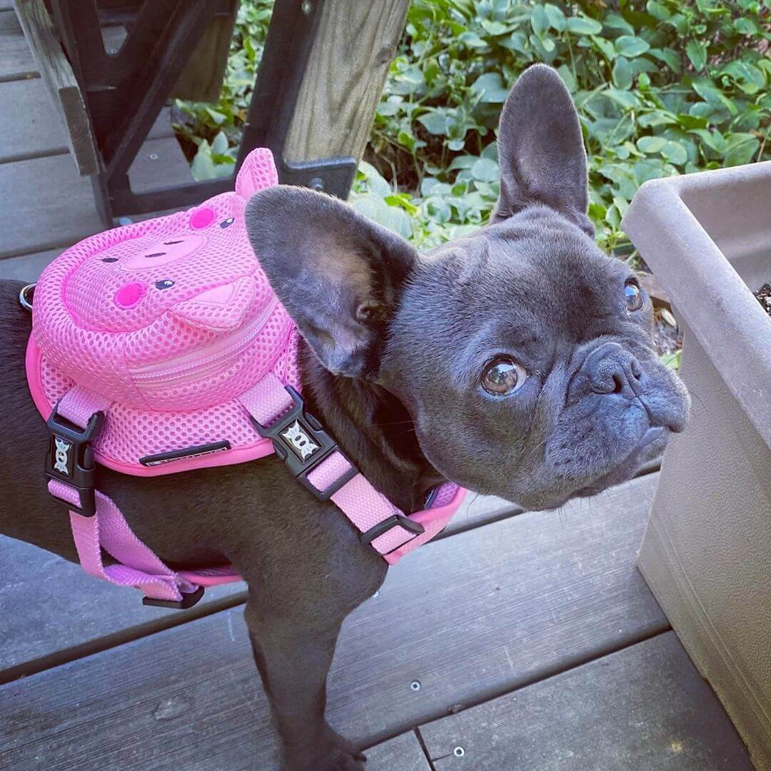 BATPIG Backpack Harness Piggy Customer Photo 3