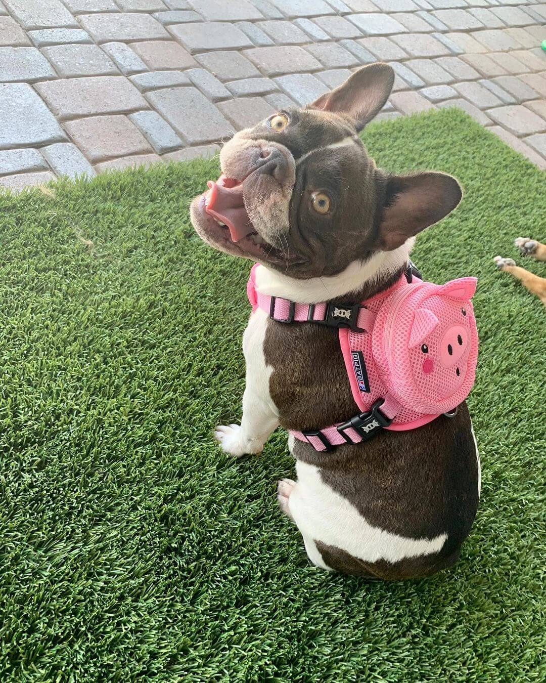 BATPIG Backpack Harness Piggy Customer Photo 4