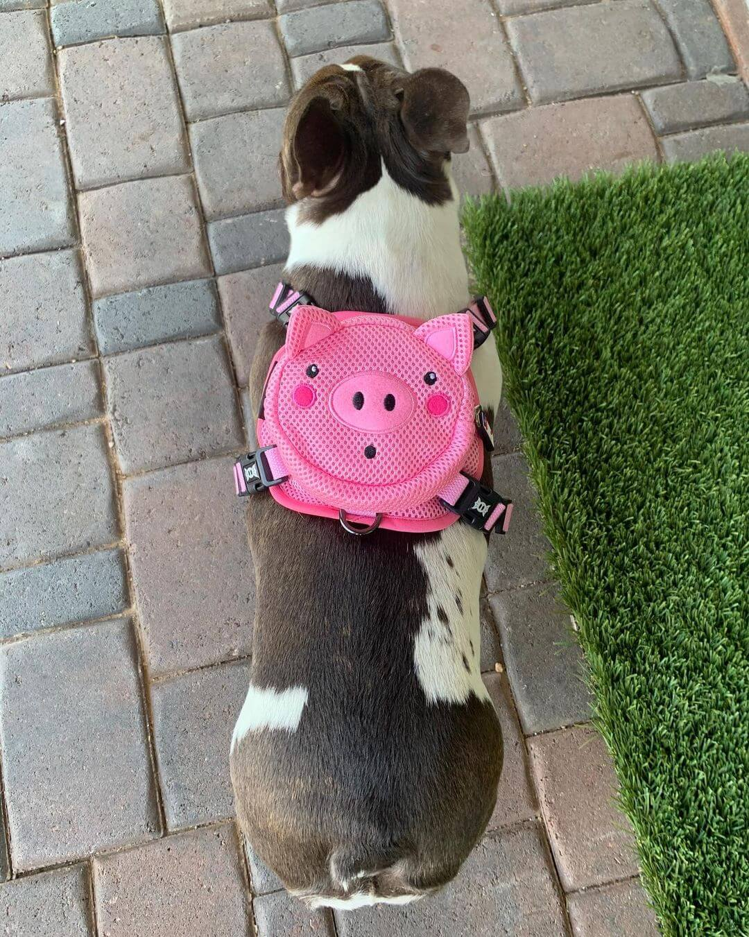 BATPIG Backpack Harness Piggy Customer Photo 5