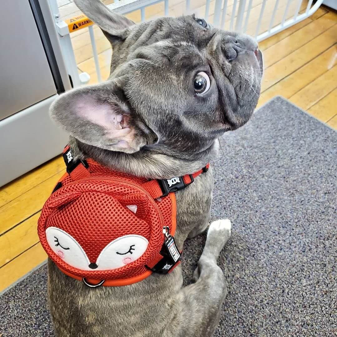 BATPIG Backpack Harness Reddy Foxy Customer Photo 1