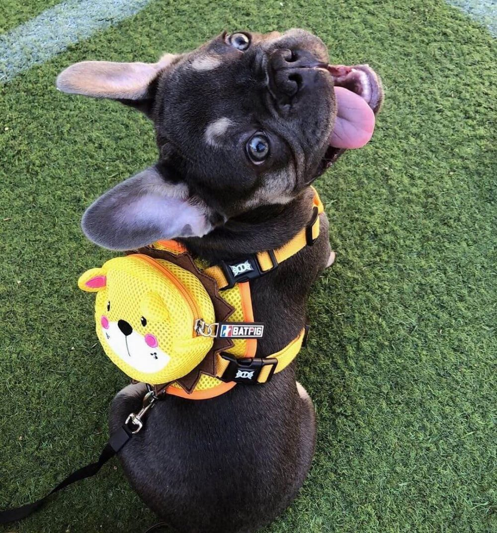 BATPIG Backpack Harness Yellow Lion Customer Photo 10